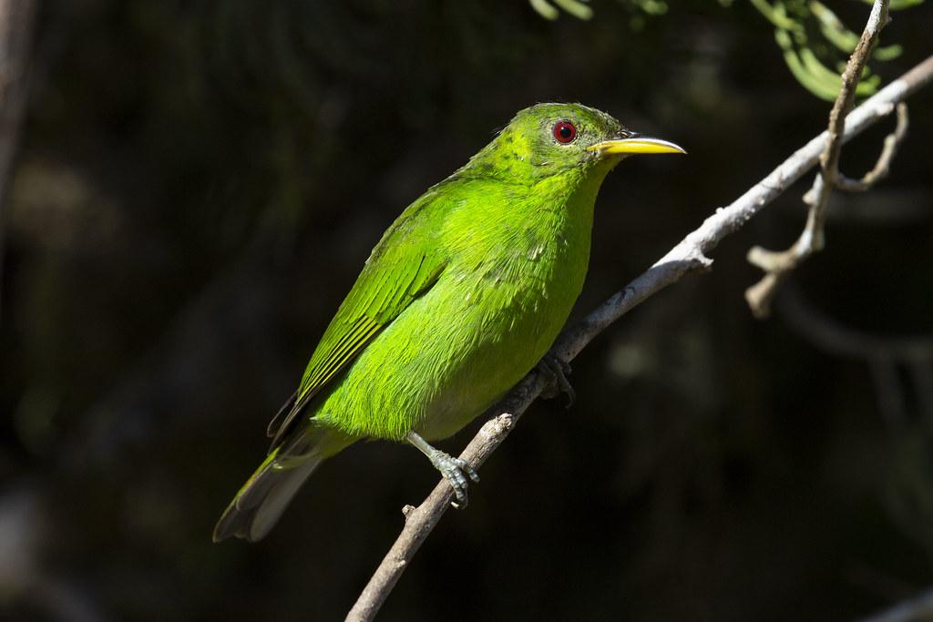 Mielero verde hembra
