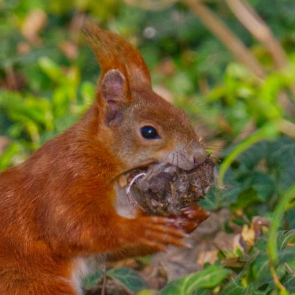Rotes Eichhörnchen mit Nuss // red squirrel with nut