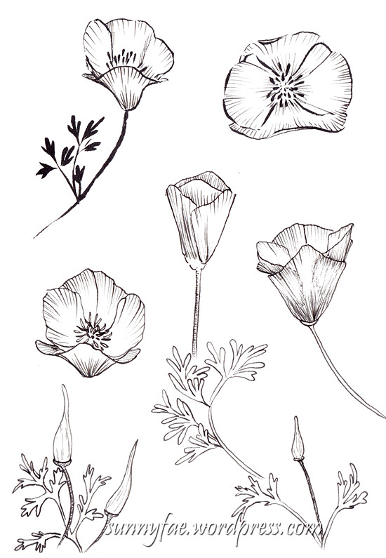 californian poppy pen sketches