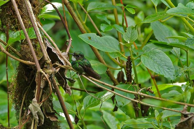 Tourmaline Sunangel (Heliangelus exortis) female.  Guango Lodge.  Ecuador.