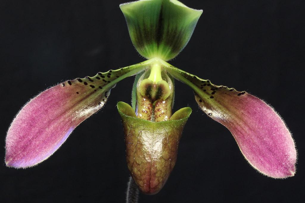 Paphiopedilum bullenianum (Syn. Paphiopedilum amabile) 49767773063_f7bd4464ba_b