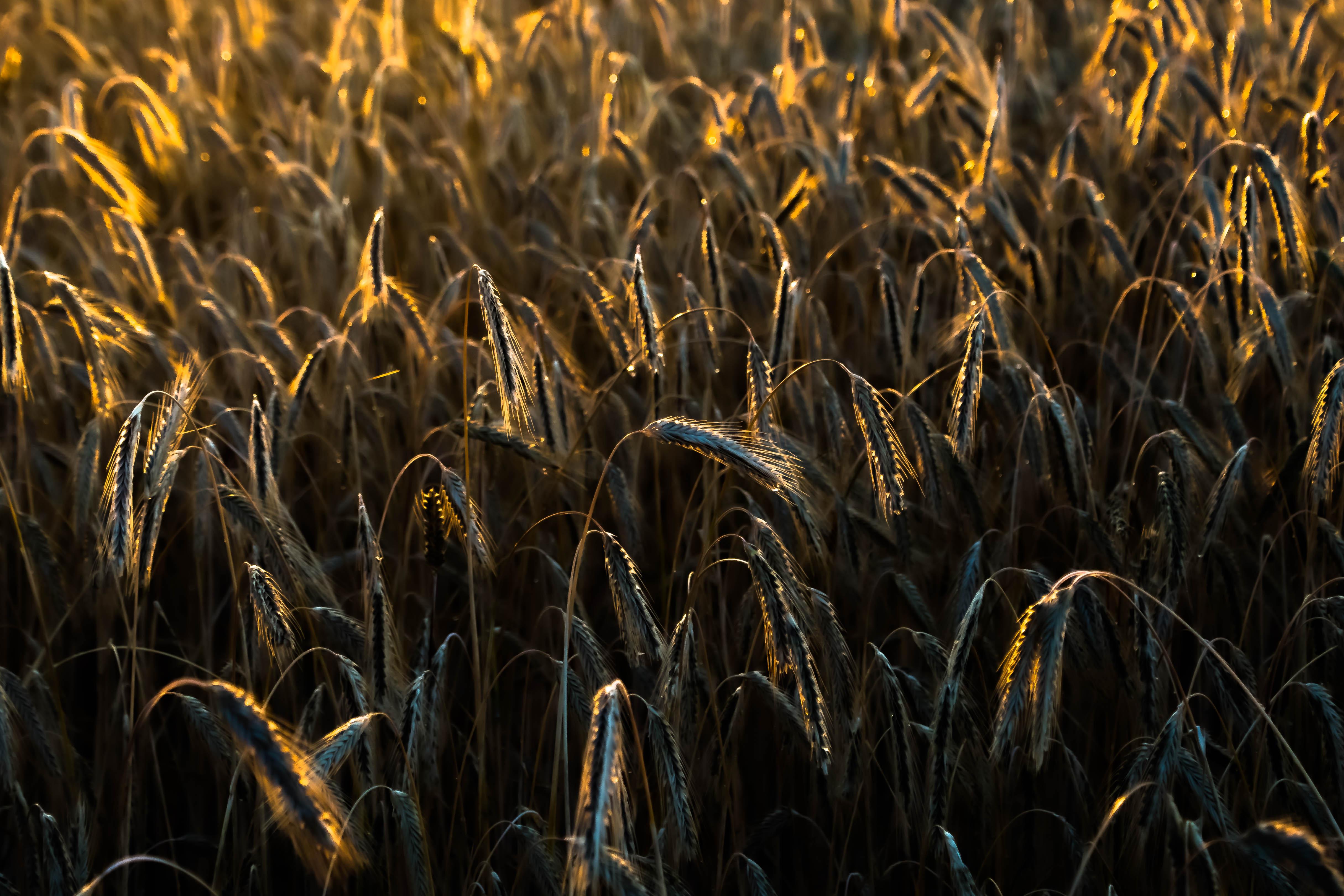 crop field summer evening