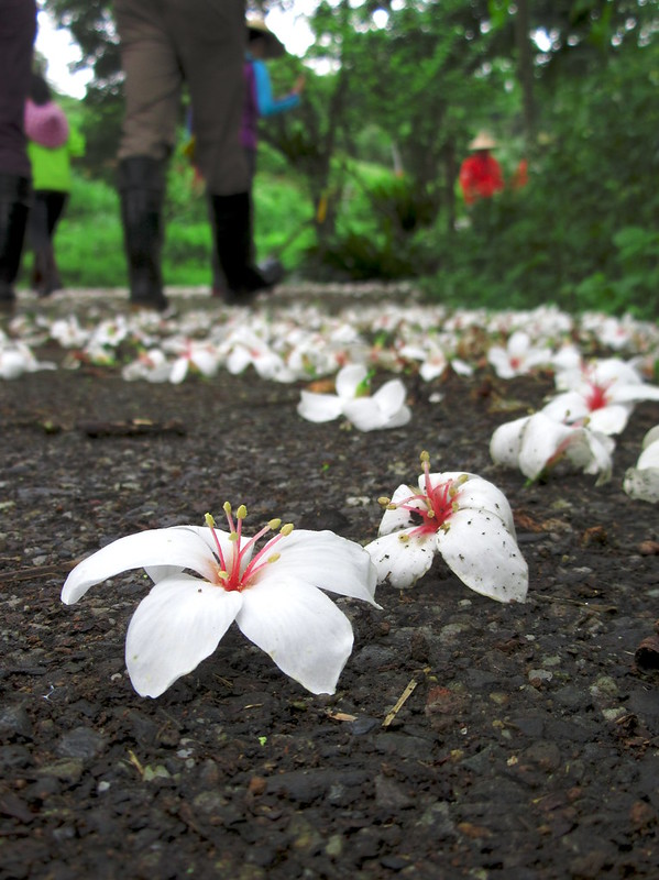 A hike to see tung blossoms in Taiwan in spring