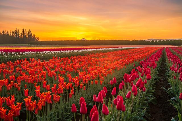 Tulip field at Sunrise