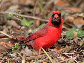 Northern Cardinal 03-20200413