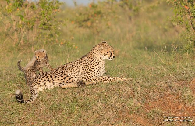 Female Cheetah - Acinonyx jubatus