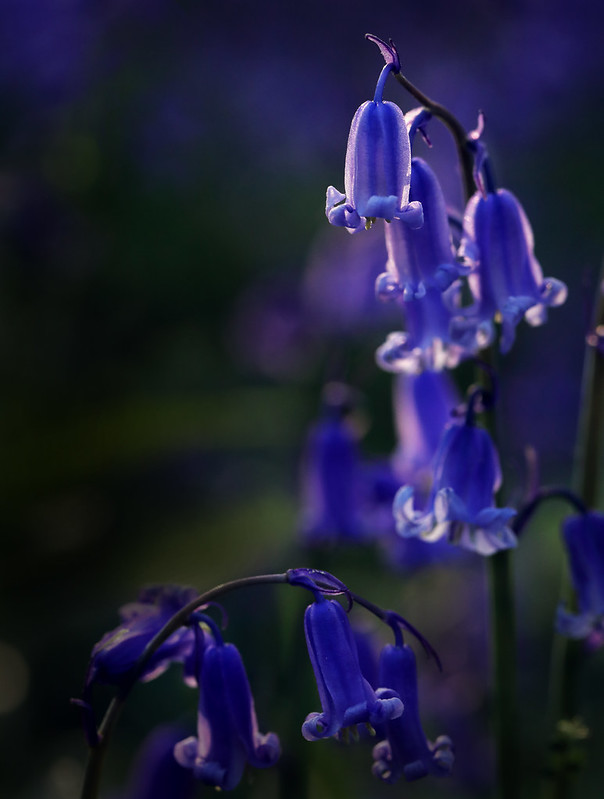 Bluebell perspective