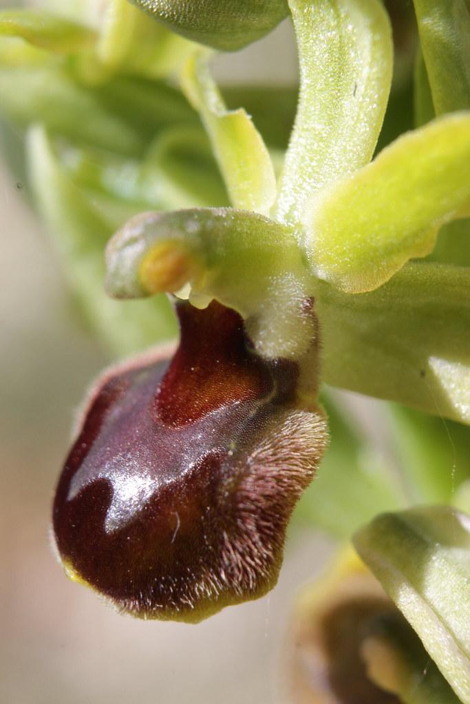 Ophrys sphegodes 49769039897_46b2434619_b