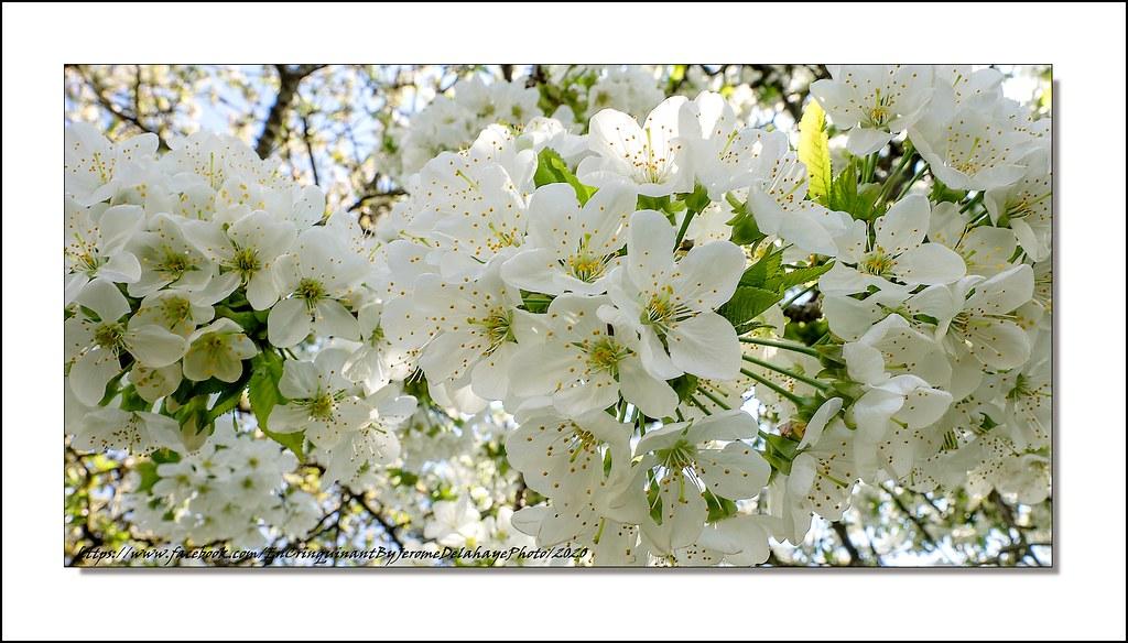 les fleurs de cerisiers ... Combien de souvenirs elles me rappellent !