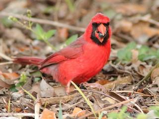 Northern Cardinal 02-20200413