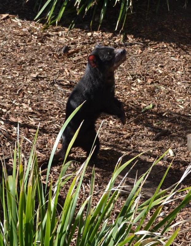sidnej tasmanijski đavo