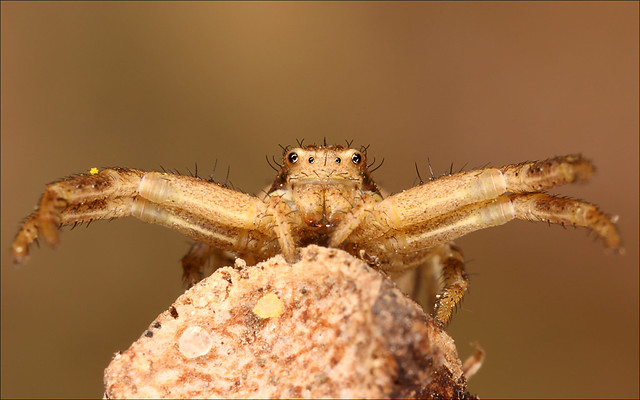 Crab Spider e