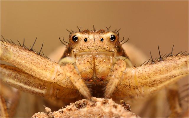 Crab Spider c