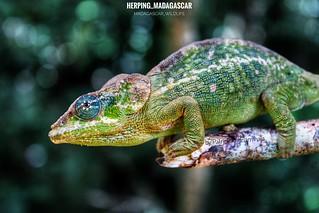 Amber Mountain chameleon (Calumma amber) - 20190803112729_IMG_2359-01-01