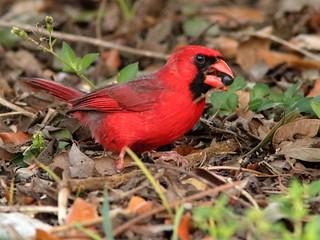 Northern Cardinal 01-20200413