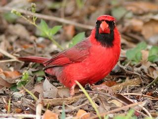 Northern Cardinal 05-20200413