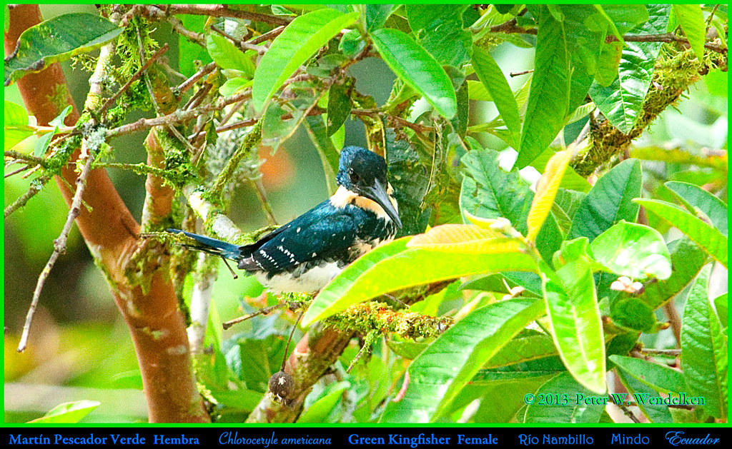 GREEN KINGFISHER Female Chloroceryle americana along the Rio Namillo west of Mindo in Northwestern Ecuador. Photo by Peter Wendelken.