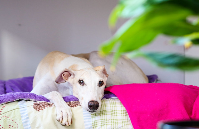 White Spanish greyhound lying on the bed