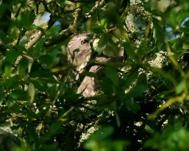 Broad-winged Hawk Building Nest - 2 - 1