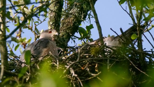 Cooper's Hawks on Nest