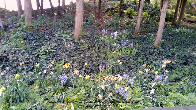Daffodils & Bluebells on Castle Hill on Huntingdon Ring Road 13th April 2020 003