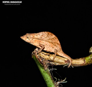 Elongate leaf chameleon (Palleon nasus) - 20190423211413_IMG_8479-01