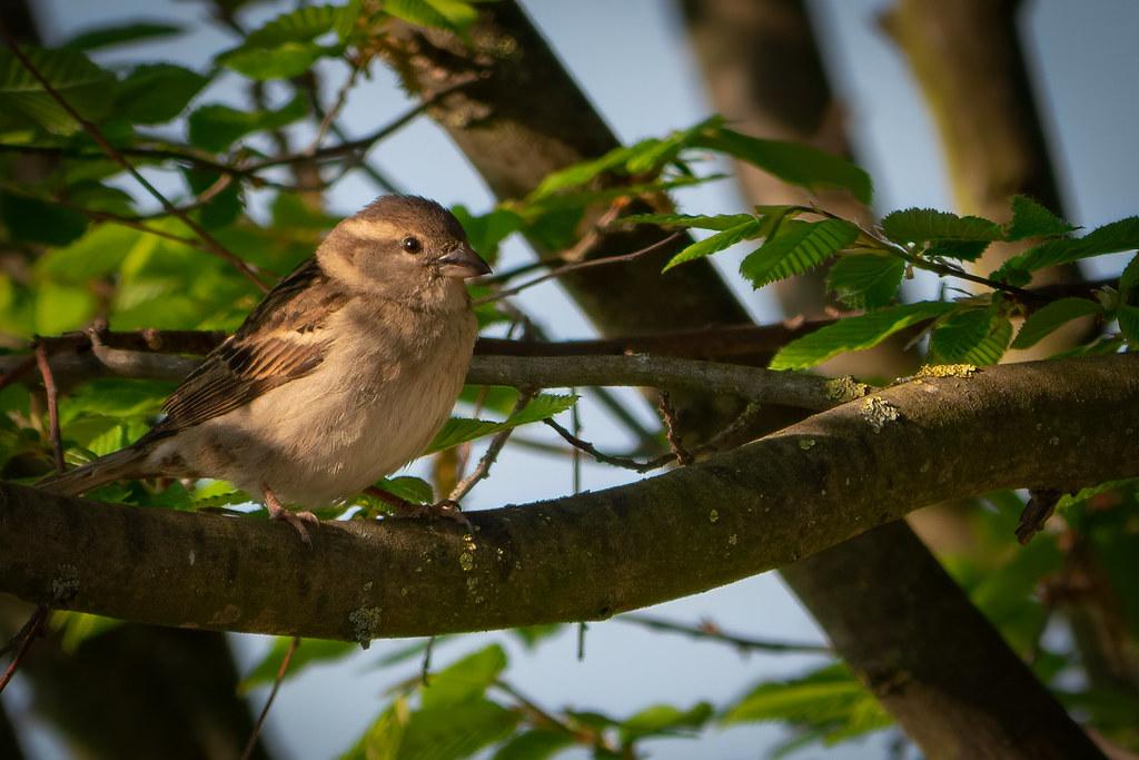 Bain de soleil matinal pour Mme Sparrow... 49769979432_a3303e2455_b