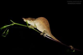 Amber Mountain blue-nosed chameleon (Calumma linotum) - x