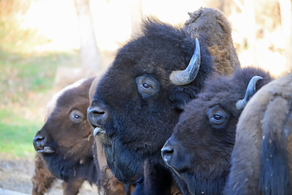 Bison Beauty