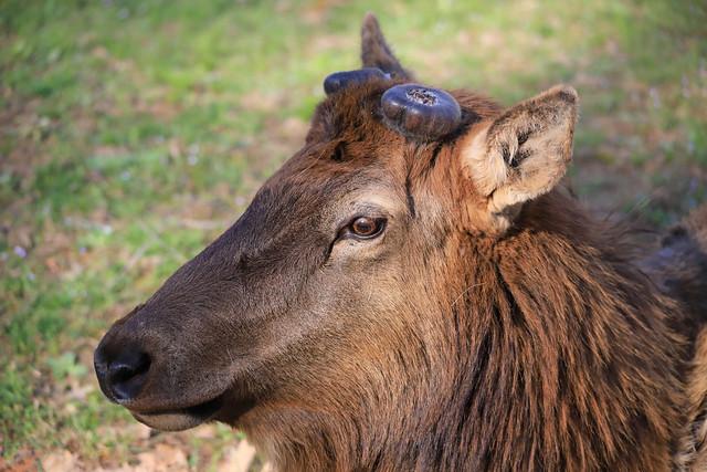 Elk - Antlers Shed