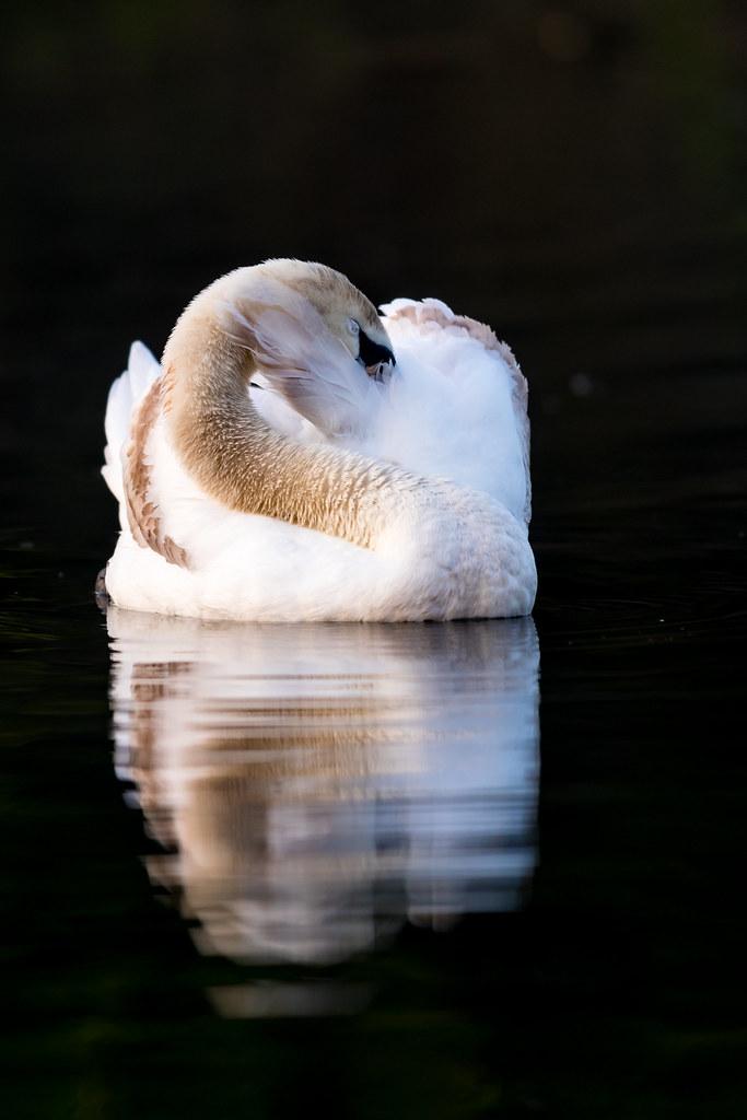 Early morning swan