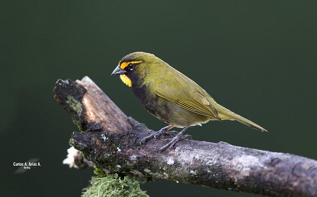 Tiaris olivaceus -macho-