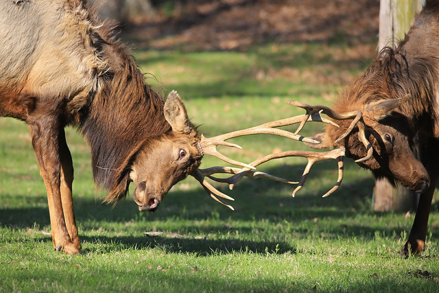 Elk Teenager Play