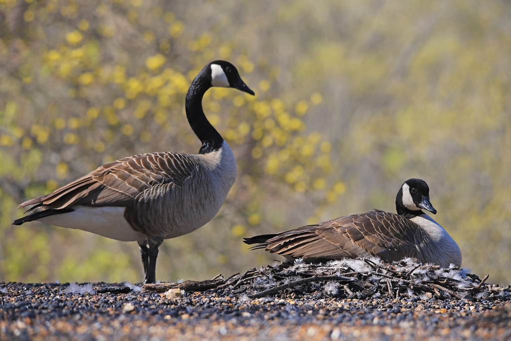 Canadian Goose - Roof Nesting