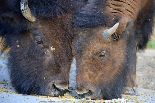 Bison - Separation is Difficult | by ParksStaff