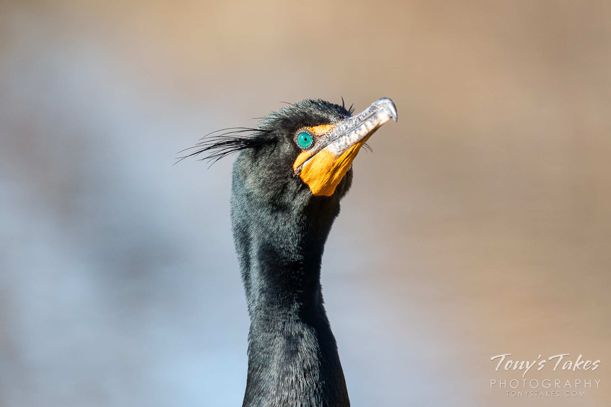 Closeup image of a double-crested cormorant in Colorado. (© Tony's Takes)
