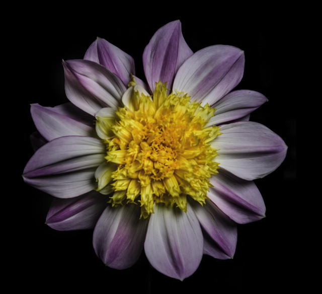 Violet And White Flower With A Yellow Center