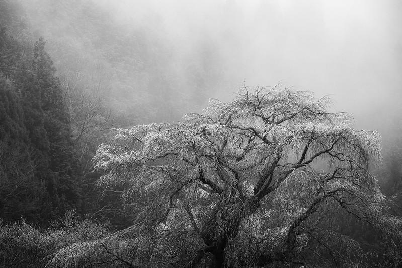 古桜霧中 (The old cherry tree is in the fog.)
