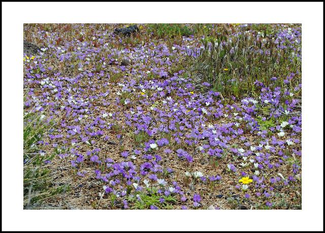 Fossil Falls Wildflowers