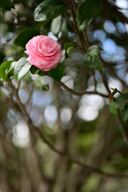 Flower of camellia in Yamate area,Yokohama city 2020/03 No.1.