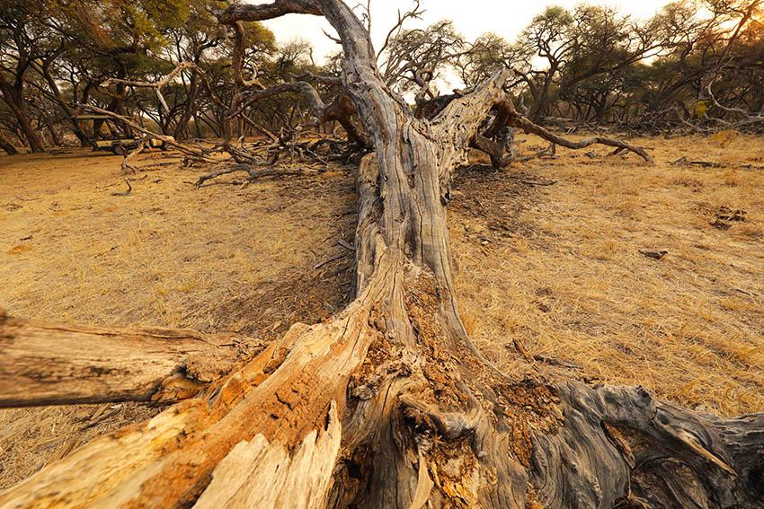 Dead tree - Hwange NP - Zimbabwe
