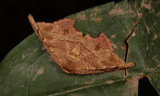 Hooktip Moth (Neoreta sp., Oretinae, Drepaninae)