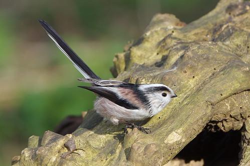 aegithaloscaudatus barnwellcountrypark northamptonshire bird longtailedtit nature wild wildlife woodland