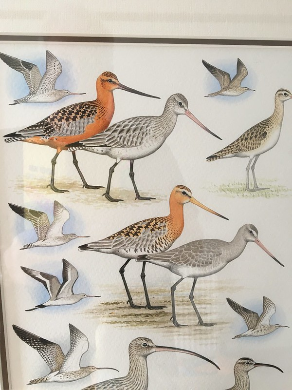 Godwits from @LionelGodwit 1