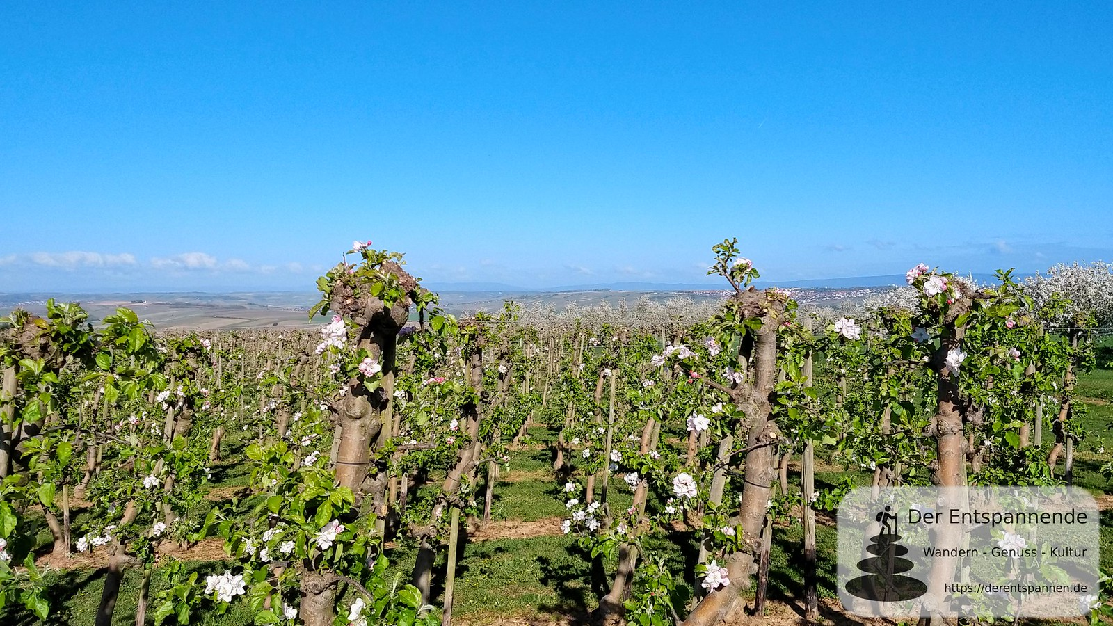 Blick über Obstplantage bei Zornheim