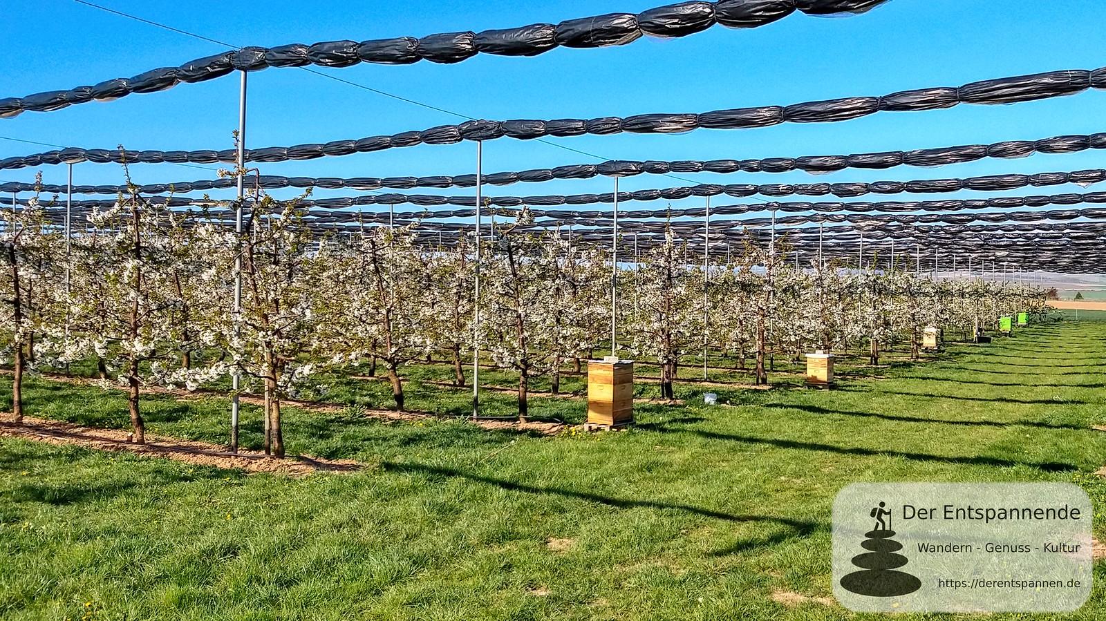 Obstplantage und Bienen-Beuten bei Zornheim