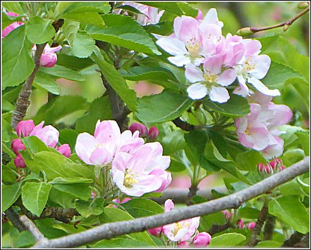 Apple Blossom ...Close Up ...
