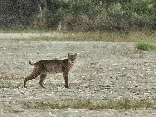 Bobcat 02-20200414