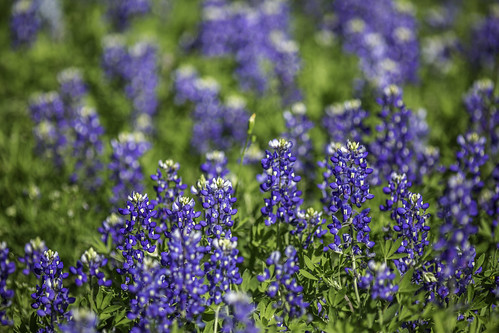texas usa washingtoncounty blue bluebonnets chappellhill flowers image intimatelandscape landscape outdoors photo photograph wildflowers f28 mabrycampbell april 2020 april12020 20200401campbellh6a6290 200mm ¹⁄₃₂₀₀sec iso100 ef200mmf28liiusm fav10