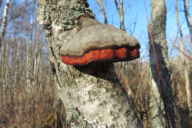 Kännupess / Red belt conk / Fomitopsis pinicola